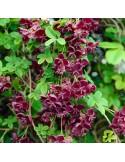 Pachet 2 plante Vita de ciocolata - Akebia quinata 2 ani 30 cm