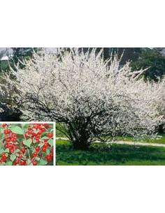 Cireș Coreean - Prunus tomentosa