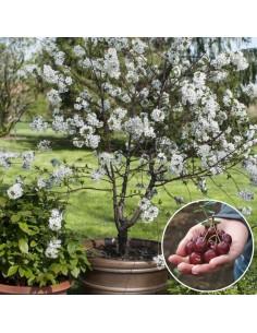 Prunus carmine jewel